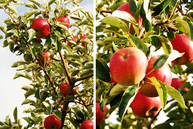 acookscanvas_apple galette6_copyright2012-2013 copy copy